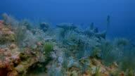 Duiken met verpleegster haaien in de Caribische zee - Belize Barrier Reef / Ambergris Caye