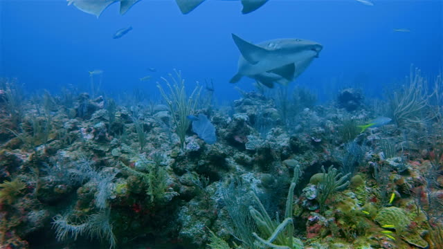 Scuba Diving with nurse sharks on colorful coral reef in Caribbean Sea - Belize Barrier Reef / Ambergris Caye