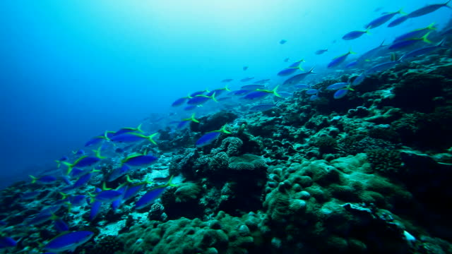 Scuba diving with reef fish in the Pacific Ocean