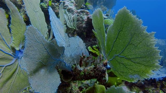 Duiken met snapper vissen op grote Maya rif in de Caribische zee in de buurt van Akumal Bay - Riviera Maya / Cozumel, Quintana Roo, Mexico
