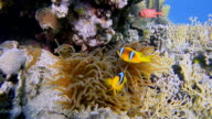 Sea anemone and Clownfish at Red Sea near Marsa Alam - Egypt