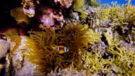 Sea anemone and Clownfish in Red Sea near Marsa Alam - Egypt