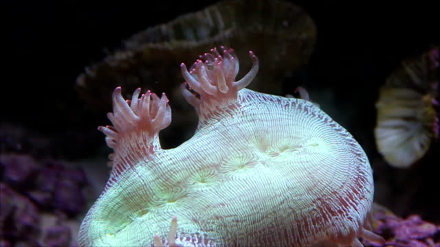 Sea anemone in natural environment.