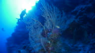 Sea fan coral undersea with sunlight