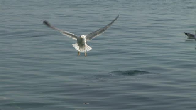 HD: Sea Gull
