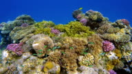 Sea life on beautiful coral reef with lot of tropical Fish ( green Chromis ) on Red Sea nearby Marsa Alam