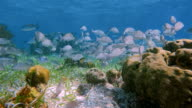 Sea life on beautiful coral reef with snapper Fish in Hol Chan Marine Reserve Caribbean Sea - Belize Barrier Reef / Ambergris Caye