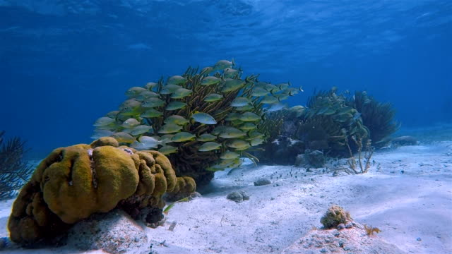 Sea life on beautiful coral reef with yellow snapper Fish in Hol Chan Marine Reserve Caribbean Sea - Belize Barrier Reef / Ambergris Caye