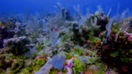 Sea life on coral reef with lot of tropical Fish on Caribbean Sea - Belize Barrier Reef / Ambergris Caye