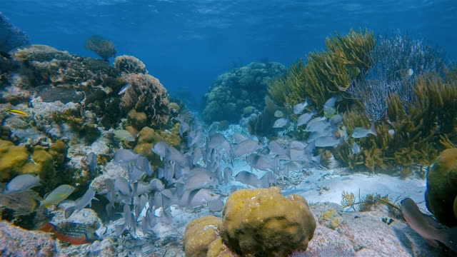 Sea life on coral reef with snapper Fish in Hol Chan Marine Reserve Caribbean Sea - Belize Barrier Reef / Ambergris Caye