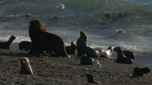Sea lion male in front of surfing puppies on the beach in Punta Norte