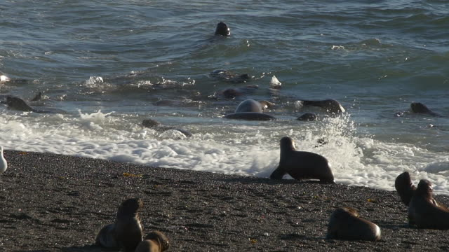 Sea lion puppies play in the surf of the beach, slow motion