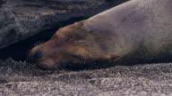 Sea Lionin the Galapagos