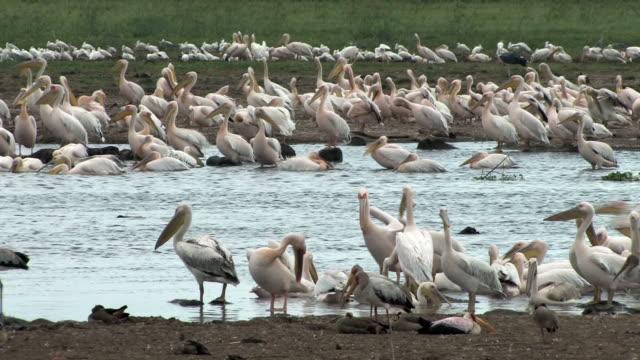 Sea of Pelicans