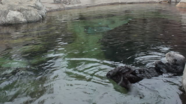 Sea otter cleaning himself