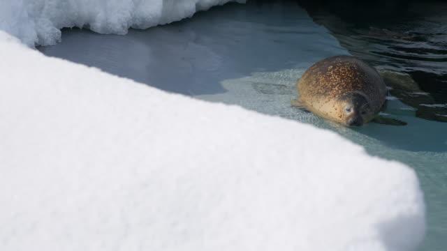Sea otter i snö vatten