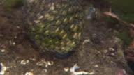 A Sea Snail Underwater