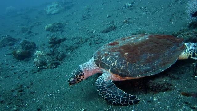 Sea turtle crawls forward on the sand