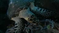 Sea turtle feeding on the soft coral, Indian Ocean, Komodo