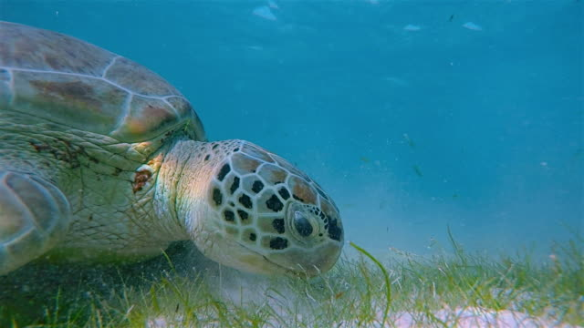 Sea Turtle grazing on seagrass bed of Akumal Beach - Mexico