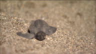 A sea turtle hatchling scrambles along the sand.