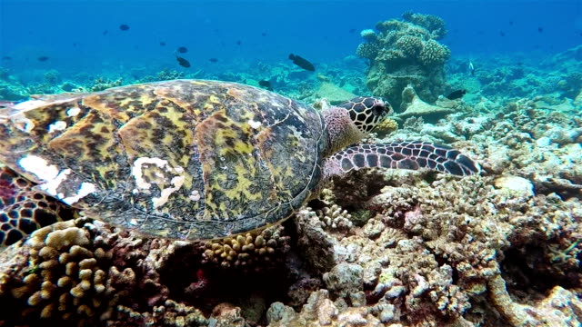 Sea turtle swimming on coral reef - Maldives