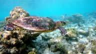 Sea turtle swimming on coral reef