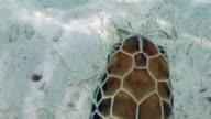 CU sea turtle swims in Caribbean Sea