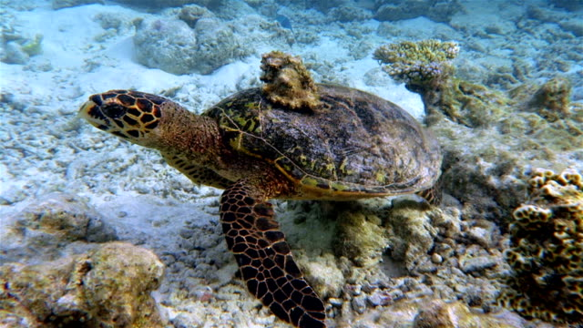 Sea turtle with Seashell on coral reef - Maldives