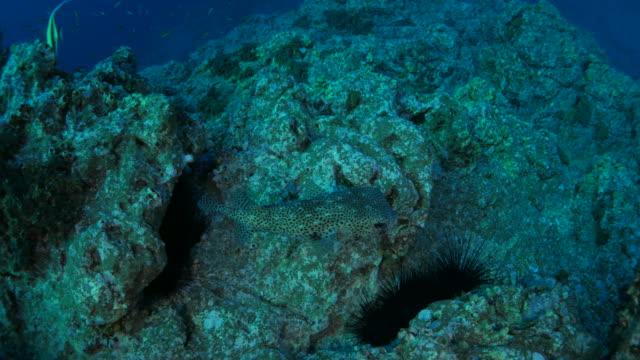 Sea urchin in the rock of reef