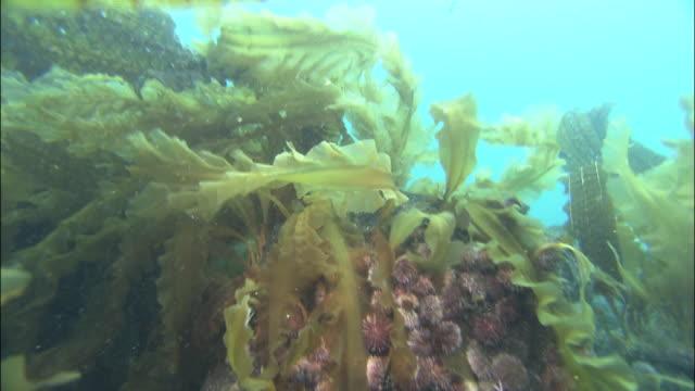 Sea urchins amongst kelp on sea bed, Shiretoko, Hokkaido, Japan, Diving Shot