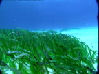 Seagrass flutters with the ocean's currents.