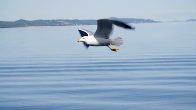 Seagull at the Mediterranean islands