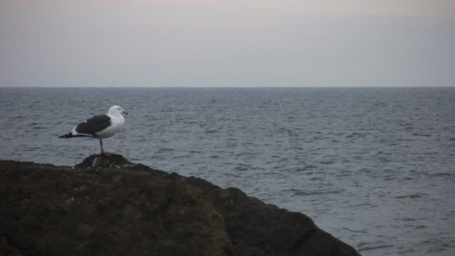 Seagull at the Pacific Ocean