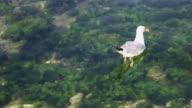 Seagull in the harbor, Porec
