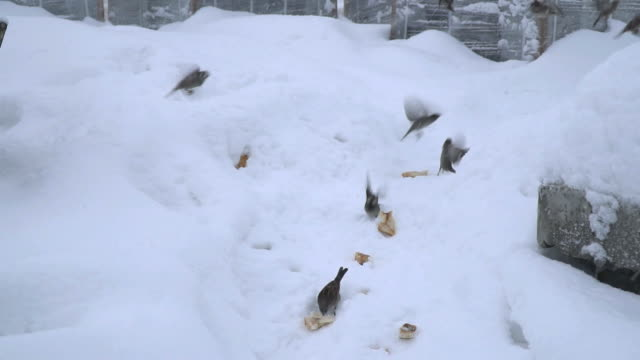 Seagull is Stealing Sparrows Breads on Snow