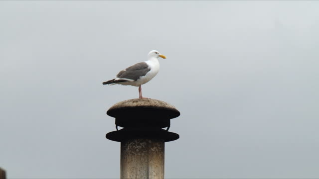 WS Seagull on top of chimney / San Francisco, California, USA