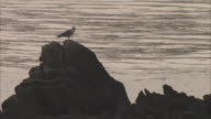 A seagull perches on a rock on the coast of Tresco, UK. Available in HD.