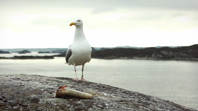 Seagull screaming and fighting off competitors