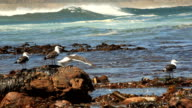 LS seagulls battling wind and landing on rocky outcrops by ocean shoreline, Cape Town, South Africa