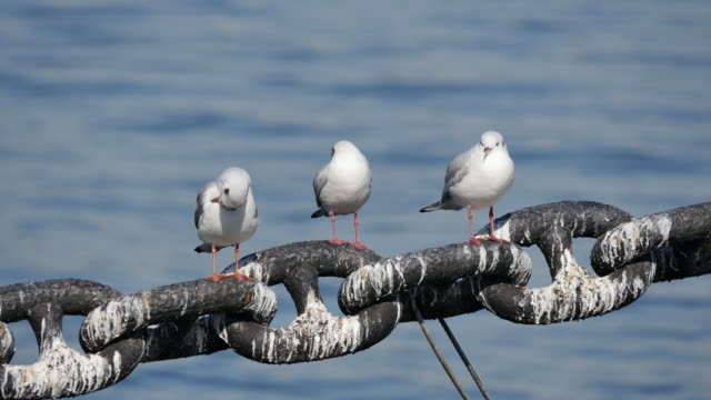 Seagulls clean it's feathers.