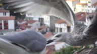 4K Seagulls fight in close up. Yellow legged seagull is feeded by a man and attacked by a lesser black backed gull that stoles part of the bread. Finally, it looks to the camera and flies away. Sea town with white houses defocus on the foreground