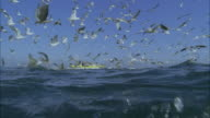 SLO MO CU Seagulls flying above water, large school of Yellowfin tuna (Thunnus albacares) swimming underwater / Moorea, Tahiti, French Polynesia