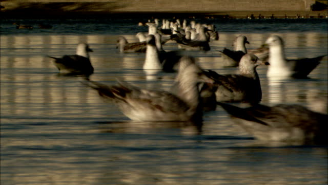 Seagulls glide on the surface of a pond. Available in HD.
