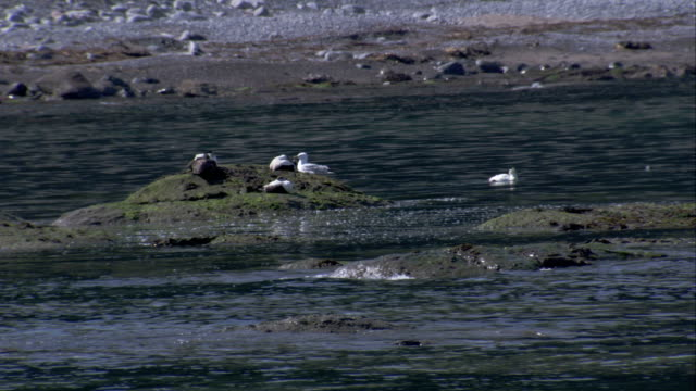 Seagulls perch on the rocky shores of Aberdeenshire Scotland. Available in HD.
