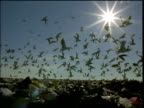 Seagulls take off from landfill site silhouetted against dusky sun shining in sky