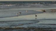 Seagulls walking/wading on ocean beach, wind-driven, crashing waves