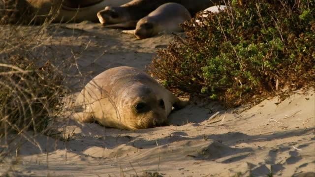 MS, Seal puppy crawling on beach, San Simeon, Big Sur, California, USA