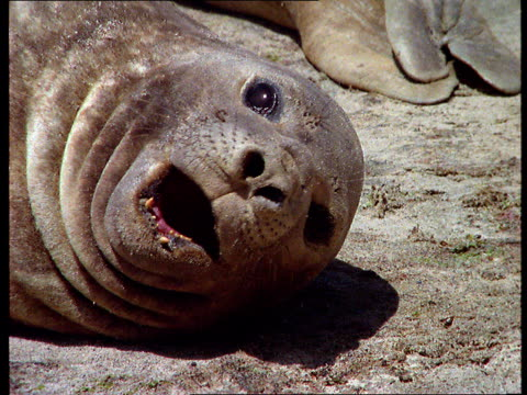 A seal rests near its pod and opens his mouth and yawns.