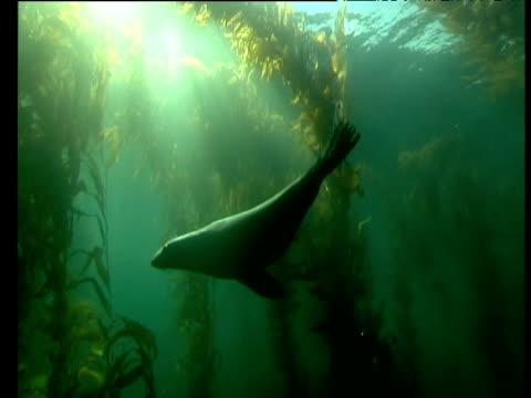 Sealions swim in kelp forest, Tasmania